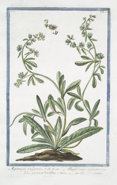 Asperugo vulgaris = Buglossum sylvestre caulibus procumbentibus = Buglasso salvatico. [Madwort]
