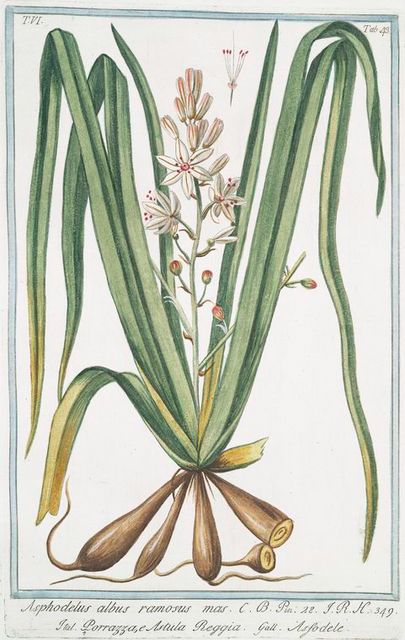 Asphodelus albus ramosus mas = Porrazza, e Astula Reggia = Asfodele. [Rimmed lichen]