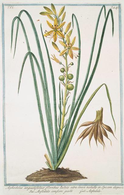 Asphodelus, angustifolius, floribus luteis, atra linea notatis in Spicam dispositis = Asfodelo comfiori gialli = Asfodele. [Yellow Asphodel, Kingspear]
