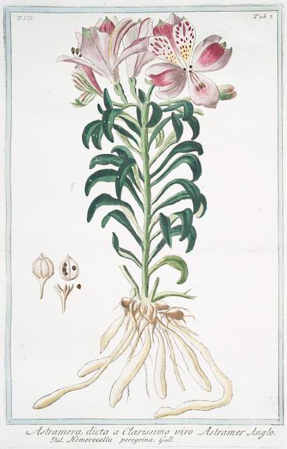 Astramera, dicta a clarissimo viro = Astramer Anglo = Hemerocalla peregrina. [Day lily]