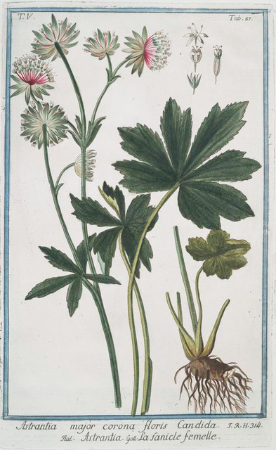 Astrantica major corona floris candida = Astrantia = La fanicle femelle. [Hadspen blood, Great masterwort]