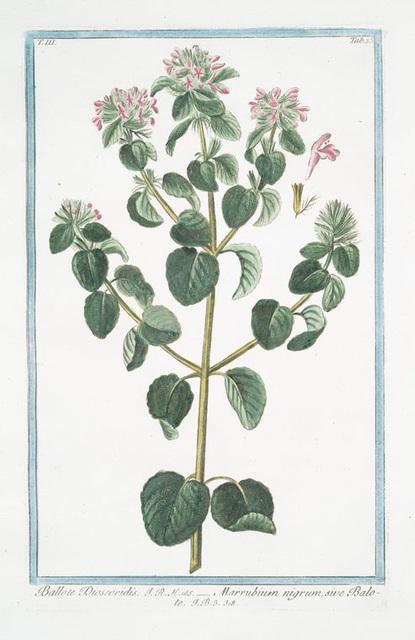 Ballote Discoridis = Marrubium nigrum, sive Balote. [Black Stinking Hoarhound]