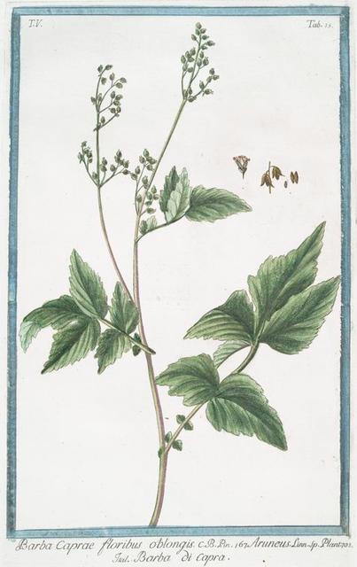 Barba Caprae floribus obongis = Aruncus = Barba di Capra. [Bird's feathers]