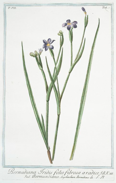Bermudiana Iridis, folio fibrosa a radice = Bermundiana. [Blue-eyed grass]