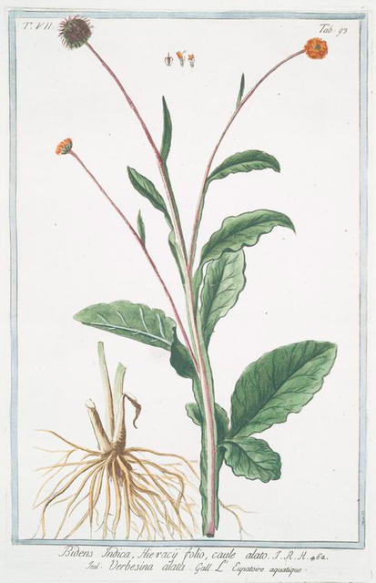 Bidens Indica, Hieracÿ folio, caule alato = Verbesina alata = L' Eupatoire aquatique. [Beggartick from India]