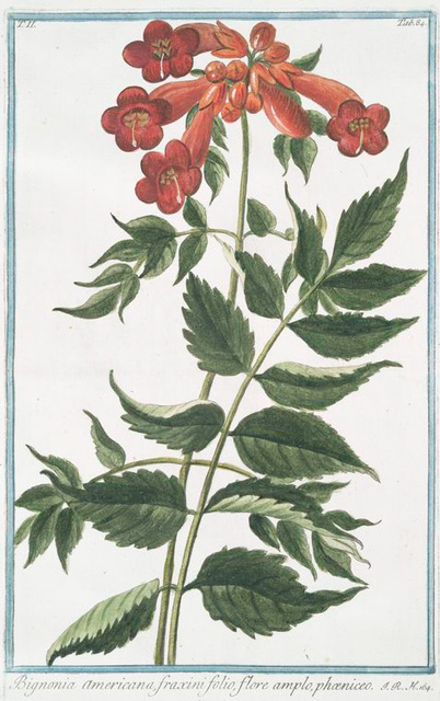 Bigonia Americana, fraxini folio, flore amplo, phoeniceo. [Ash-leaved Trumpet-flower]