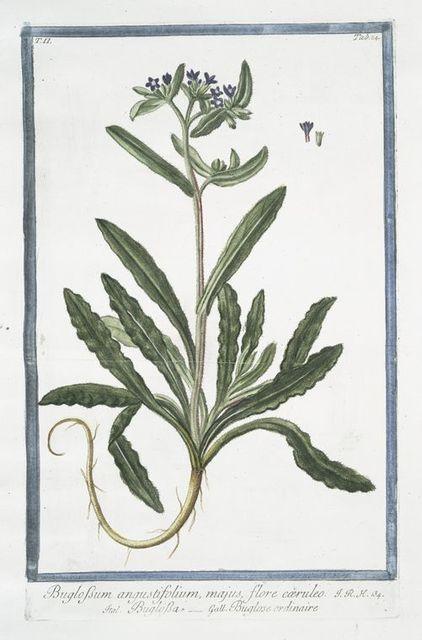 Buglossum angustifolium, majus, flore cæruleo = Buglossa = Buglose ordinaire. [Alkanet or Oxtougue]