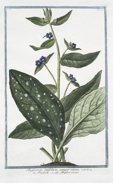 Buglossum latifolium, semper virens = Buglossa = Buglose vivace. [Alkanet or Oxtougue]