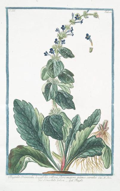 Bugula Orientalis, longifolia, villosa, flore majore intense coeruleo = Consolida pelosa = Bugle.