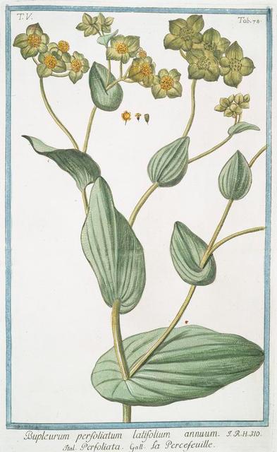 Bupleforum perfoliatum latifolium annuum = Perfoliata = Percefeuille. [Thorowax, Saiko, Hare's ear]