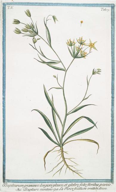 Bupleurum gramineo longiori glauco, et glabro folio floribus parois = Bupleuro montano = La Perce-feuille, ou oreille de Lievre. [Throwwax]