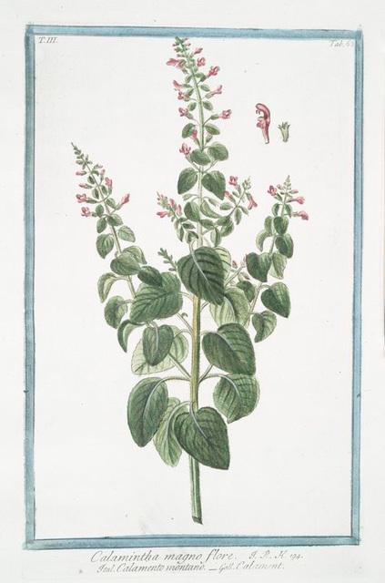 Calamintha magbno flore = Calamento montano = Calament. [Mountain mint]