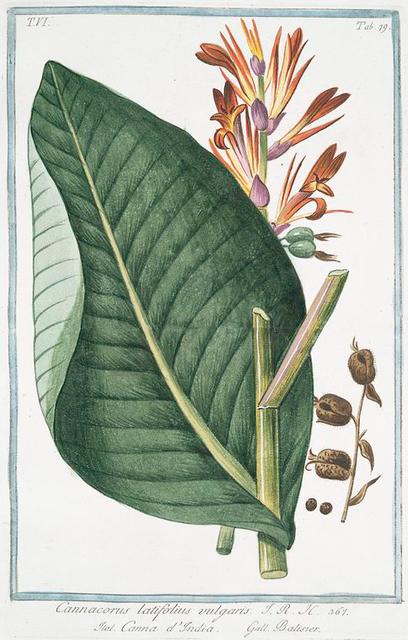 Cannacorus latifolius vulgaris = Canna d'India = Balisier. [Canna]