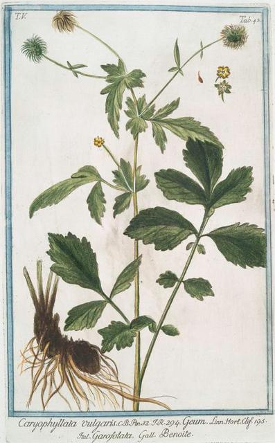 Caryophyllata vulgaris = Geum = Garofolata = Benoite. [Clove group]