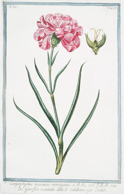 Caryophyllus maximus, variegatus = Garofolo ricamato detto il Calabrese = L'oeillet. [Carnation]