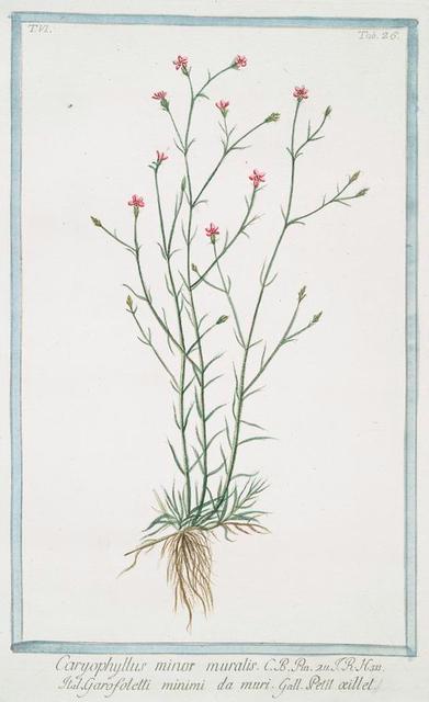 Caryphyllus minor muralis = Garofoletti minimi da muri  =  Petit oeillet [Mini Carnation]