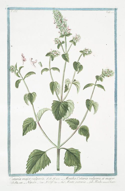 Cataria major, vulgaris = Mentha Cataria vulgaris, et major = Nepeta = Memta gattarea = Herbe aux Chats. [Cat Mint, Catnip, Catswort]