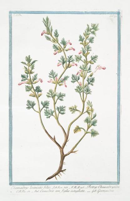 Chamædrys laciniatis foliis = Botrys Chamædryoides = Camedrio con foglia intagliata = Germandrée. [Cutleaf Germander]
