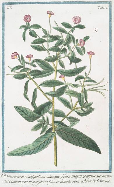 Chamaenerion latifolium villosum, flore magno purpurascente = Camenerio maggiore = Le Laurier rose, ou L;Herbe de St. Antoine. [Dwarf Fireweed; River beauty]