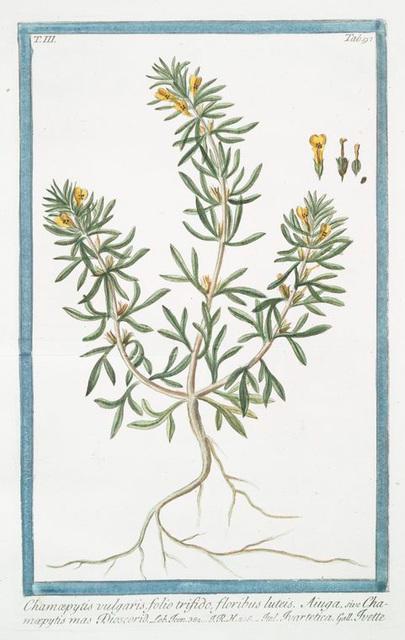 Chamæpytis vulgaris, folio trifido, floribus luteis. Aiuga, sive Chamæpytis mas Dioscorid = Ivartertica = Ivette. [Bugle small-pine]