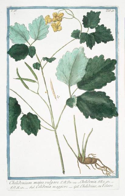 Chelidonium majus, vulgare = Chelidonia = Celidonia maggiore = Chelidoine, ou Eclaire.  [Greater Celandine, Wartweed]