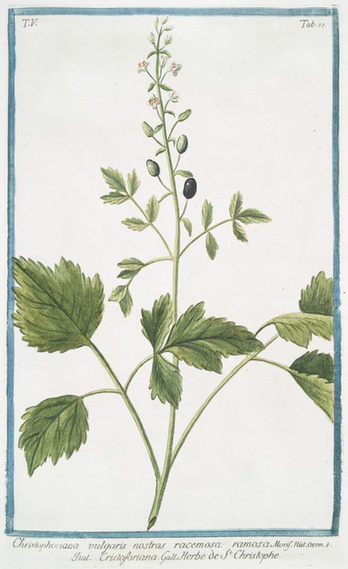 Christophoriaa vulgaris nostras racemosa ramosa = Cristoforiana = Herbe de St.Christophe. [Actée en épi]