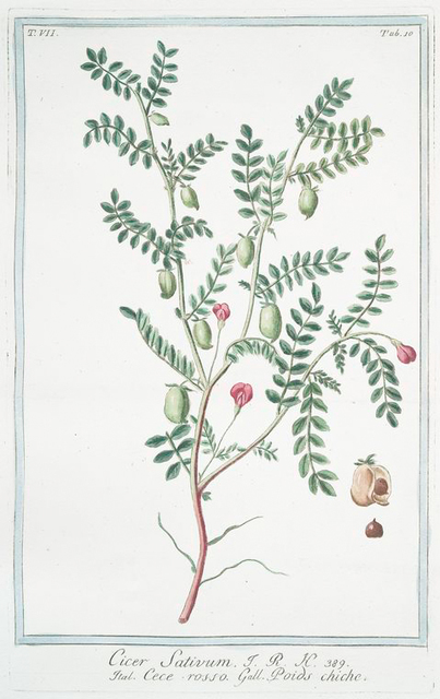 Cicer sativum = Cece rosso = Poids chiche. [Chick pea, Garbanzo]