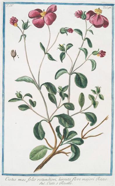 Cistus mas, folio rotundiori, hirsuto, flore majori Roseo = Cisto, e Roselle. [Rock-rose]
