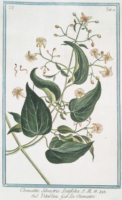 Climatitis Silvestris Latiafolia = Vitalbia = La Clematite. [Traveller's joy; Old man's beard]