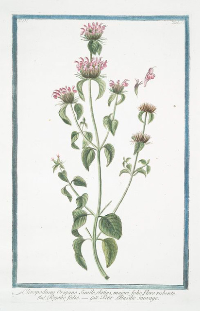 Clinopodium Origano simile, elatius, majori folio, flore rubente = Regono falso = Petit Basilic sauvage. [Wild Basil]