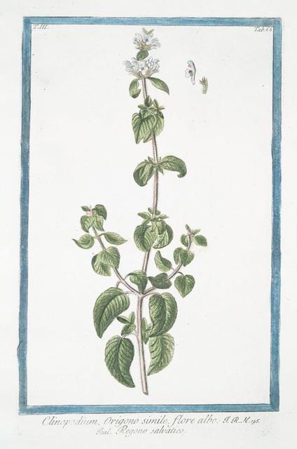 Clinopodium, Origono simile, flore albo = Regono salvatico. [Wild mint]