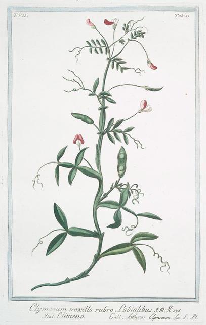 Clymenum,  vexillo rubro labialibus = Climeno = Lathyrus Clymenum.
