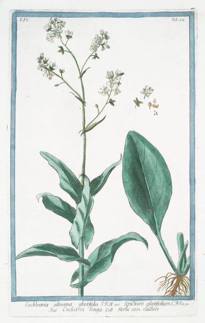 Cochleatria altissima glastifolio = Lepidium glastifolium = Cocleatria Longa = Herbe aux cuilliers. [Tallest Scurvygrass]