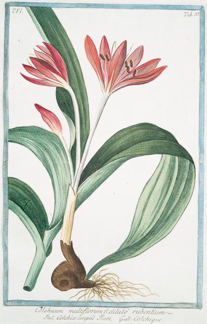 Colochicum multiflorum fl. Dilute rubentium = Colchico conpiu fiori = Colchique. [autumn crocus; fall crocus; naked ladies, Meadow saffron]