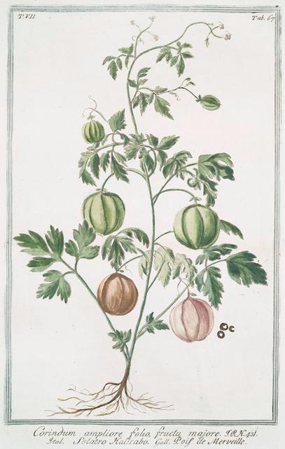 Corindum, ampliore folio, fructu majore = Solatro Halicabo = Pois de Merveille.