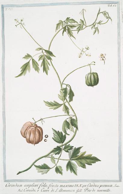 Corindum ampliori folio, fructu maximo = Cardiospermum Linn. = Corindo, o Cuore di S. domenico = Pois de merveille. [faux persil]