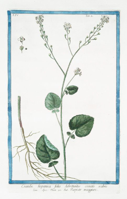 Crambe hispanica foliis subrotundis crenatis scabris = Rapistr maggiore