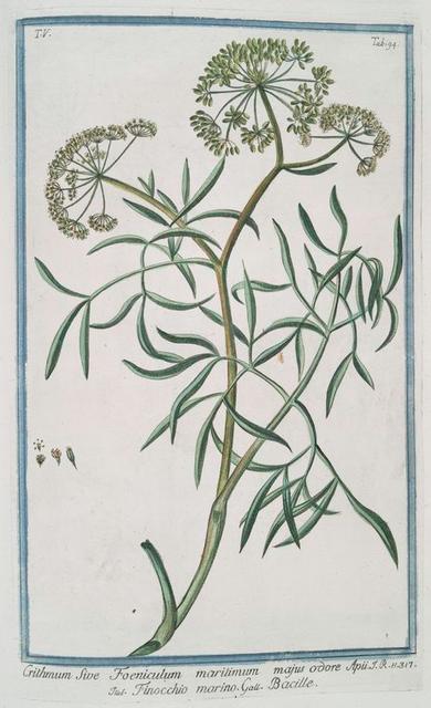 Crithmum sive Foeniculum maritimum majos odore Apii = Finocchio marino = Bacille [Samphire, Fennel]