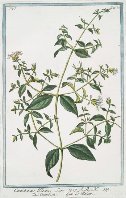 Cucubalus Plinii = Cucubalo = Le Behen. [Berry Catchfly]