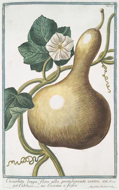 Cucurbita longa flore albo, protuberante ventre = Calebasse = Cucuzza a fiafca. [Bottle gourd]