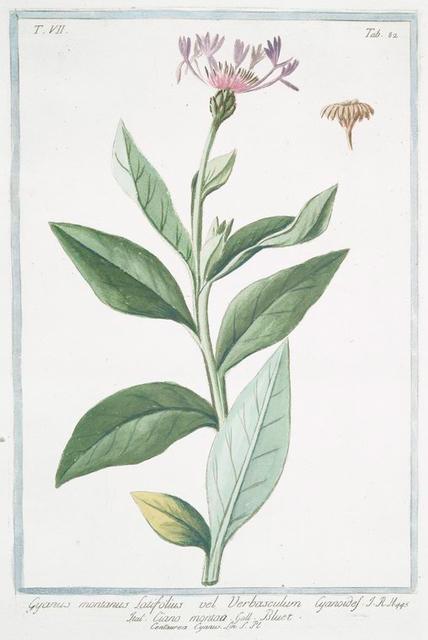 Cyanus montanus, latifolius vel Verbaculum Cyanoides = Ciano montana = Bluet. [mountain cornflower; perennial cornflower]