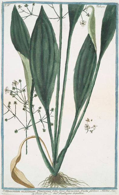 Damasonium maximum, Plantaginis folio, flore flavescente, fructu globoso = Piantagine acquatica. [Water plantain]