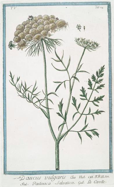 Daucus vulgaris = Pastinaca Salvatica = La Carotte.