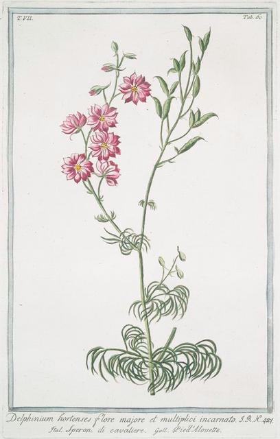 Delphiinium hortenses, flore majore et multiplici incarnato = Speron di cavaliere = Pie'd Alouette. [Larkspur, Staggerweed]