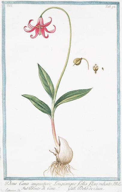Dens Canis angustiore, longiorique folio, flore rubente = Dente di Cane = Dent de Chien. [Dog's tooth violet]