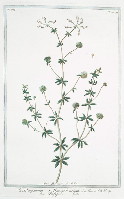 Dorycnium Monspeliensium = Frifoglio {Lotus from Montpellier
