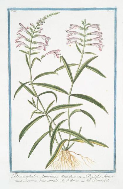 Dracocephalon Americana = Digitalis Americana purpurea folio serrato = Dracocefalo. [Dragonhead]