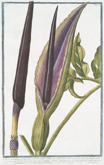 Dracunculus polyphyllus foliis venis albis striatis, et caule maculis viridi-fuscis, ablbiantibus, et roseis pulchre et varie notato. Arum Zeylanicum polyphyllum, caule maculato auorundam. Scrpentaria Nonnullorum = Dragontea = Serpentaire. [Dragonarum]