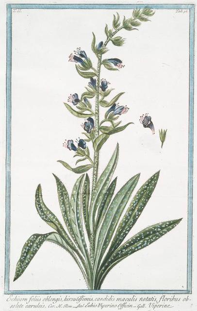 Echium foliis oblongis, hirsutissimis, candidis maculis notatis, floribus obsolete cærules = Echio Viperino Officin = Viperine.
