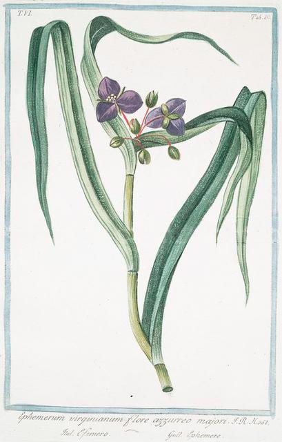 Ephemerum virginianum flore, azzureo majori = Efemero = Ephemere. [Virginian ephemerum moss]